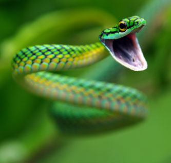 Rainforest snakes - Rainforest Animals